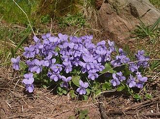 Viola odorata - Image: Viola odorata 200311