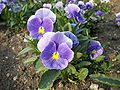 Viola tricolor-01.jpg
