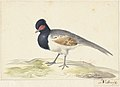 Vogel met grijze staartveren, zwarte kop met rode vlek, naar links.jpeg