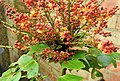 Wasp on Mahonia blossom (29792694771).jpg