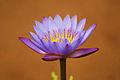 Water Lilly Flower.JPG