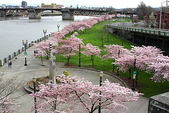 Freeway removal - Cherry blossom in the Tom McCall Waterfront Park, created with the removal of the Harbor Drive in Portland, Oregon.