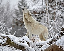 Wazi - Howl - Winter - Roy Lewis.jpg