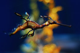 Weedy Sea Dragon at the Georgia Aquarium.jpg