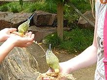 Cocorite che si nutrono dalle mani delle proprietarie