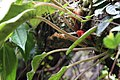 What plant? (N-Sumatra) (8187444791).jpg