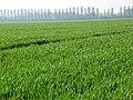 Wheat, Ruscombe - geograph.org.uk - 799232.jpg