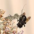 Wheel bug devouring a bee, -2 (14851458068).jpg