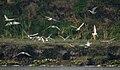 Whiskered Tern (Chlidonias hybridus) W2 IMG 3654.jpg