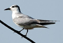 Whiskered tern2.jpg
