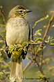 White-browed Bulbul in Nagpur , India,by Dr. Tejinder Singh Rawal.jpg