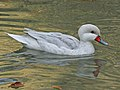 White-cheeked Pintail white morph RWD.jpg