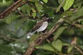 White-necked Thrush (Turdus albicollis) (4089539829).jpg