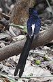 White-rumped Shama Copsychus malabaricus by Dr. Raju Kasambe DSCN7003 (21).jpg