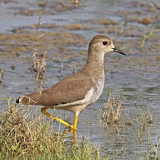 White-tailed lapwing Species of bird