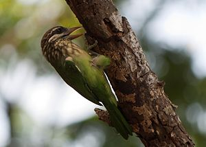 White-cheeked barbet - Like woodpeckers, the barbets perch on the trunk to hollow their nest. The rictal bristles around the beak are prominent.