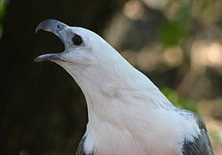 White Bellied Sea Eagle 070531c.jpg