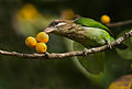White cheeked barbet feeding.jpg
