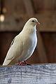 White dove (4087593472) (3).jpg