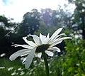 White flower (7355354346).jpg