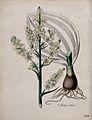 White hellebore (Veratrum album); flowering stem, bulb and l Wellcome V0043964.jpg