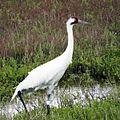 Whooping Crane (25840442840).jpg