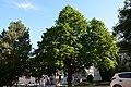 Wiener Naturdenkmal 800 - Baumhasel (Hietzing) m.JPG