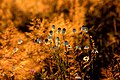 Wiesenblume im Thüringer Schiefergebirge (2013-07-15 WDPA ID 378705).jpg