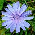 Wild Chicory, Cichorium intybus - geograph.org.uk - 1545477.jpg