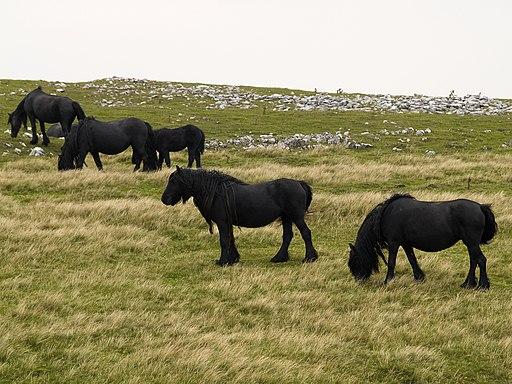 Wild Horses @ Walk to Wild Boar Fell