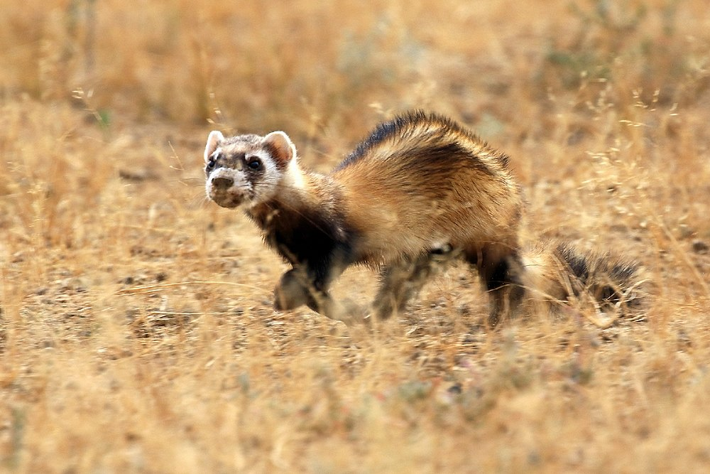 The average litter size of a Steppe polecat is 9