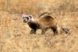 Steppe polecat species of mammal