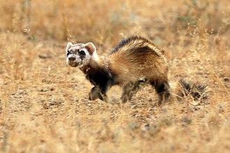 Polecat - Image: Wild steppe polecat