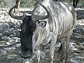 Wildebeest (White Bearded).jpg