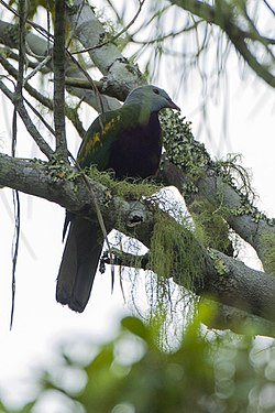 Wompoo Fruit-Dove - Lake Eacham - Queensland S4E7952 (22165955968).jpg