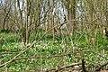 Wood anemones in Lorenden Park, Painters Forstal - geograph.org.uk - 1774534.jpg