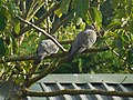 Woodpigeons in a Tree.jpg