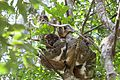 Wooly lemurs Andasibe (15719568100).jpg