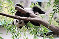 Xiao Liwu im San Diego Zoo - Foto 3.jpeg