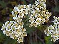 Yarrow, Achillea millefolium, Yosemite.jpg