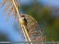 Yellow-bellied Prinia (Prinia flaviventris) (41810985390).jpg