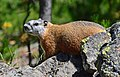 Yellow-bellied marmot in Yellowstone Park.jpg