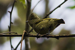 Yellow-browed Tit Fambong Lho Wildlife Sanctuary Sikkim 30.03.2014.jpg