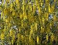 Yellow (5643088765).jpg