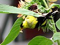 Yellow Finch (225574267).jpg