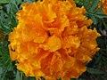 Yellow Marigold (251251350).jpg