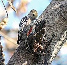 Yellow crowned Woodpecker (Male) I3 IMG 9638.jpg