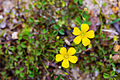 Yellow sorrel (25796837652).jpg