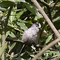 Young Long Tailed Tit (3614271474).jpg