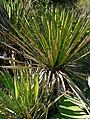 Yucca carnerosana 1.jpg